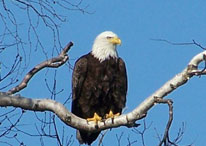 Eagle perched in a tree